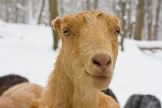 Humble Garden 2010: maisy the goat, eating hay in snow | by nikaboyce