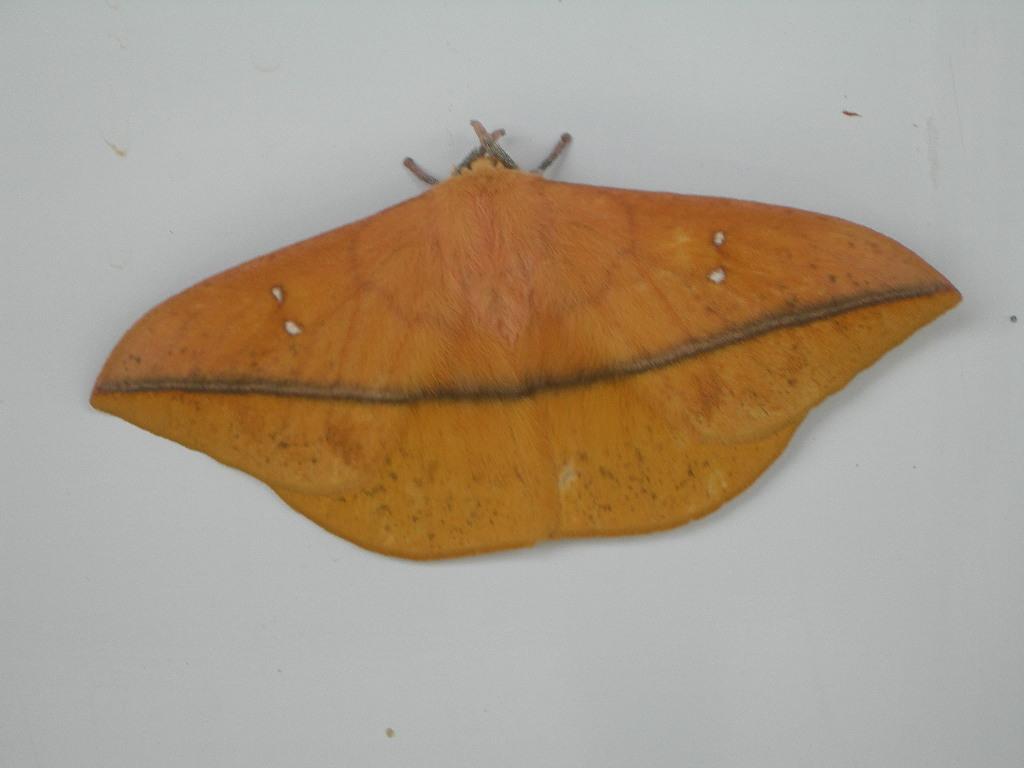 Лономия (Lonomia obliqua), фото фотография бабочки