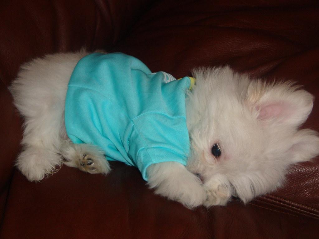 Maltese Dog Puppy Cut Pictures