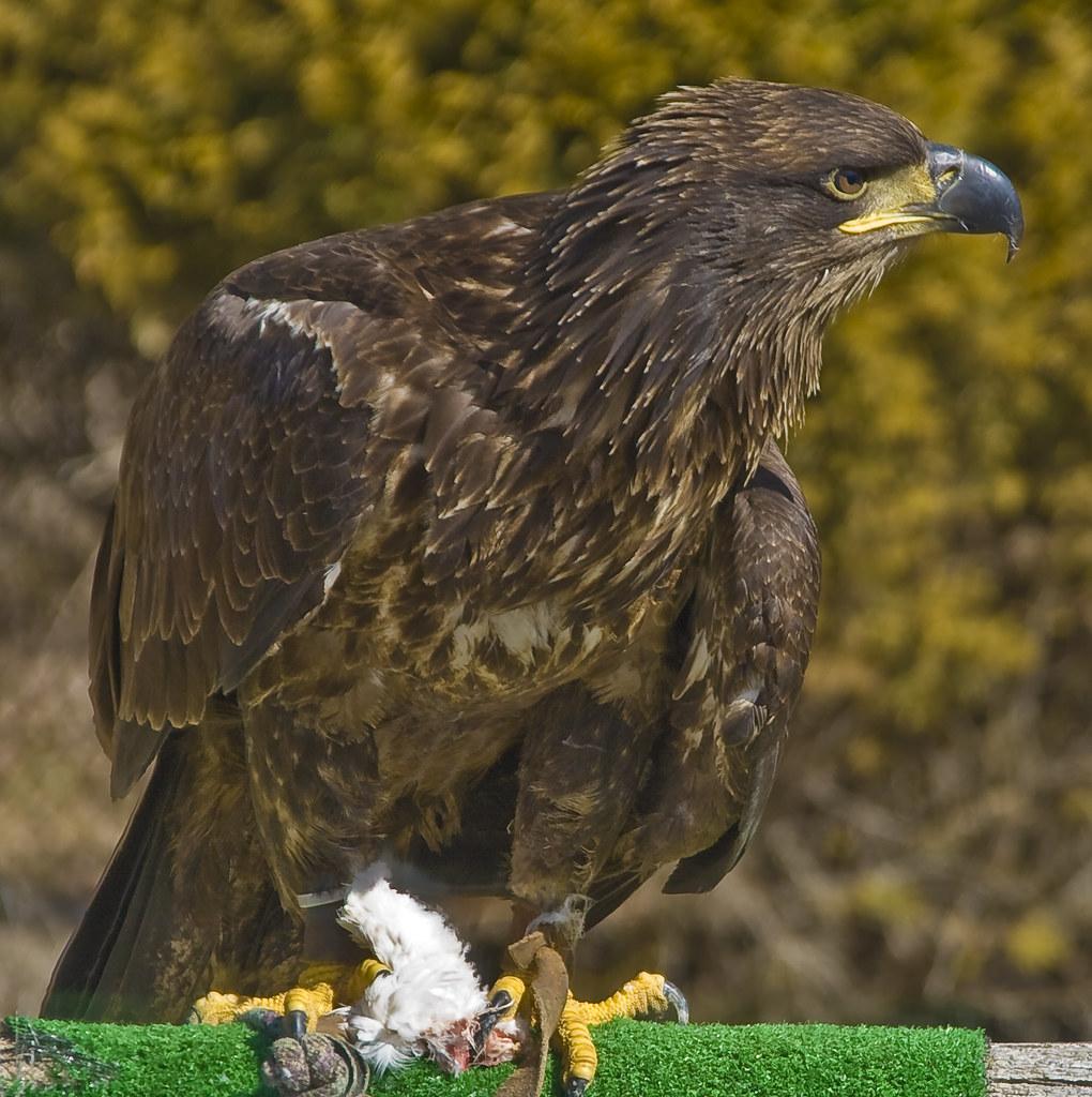 """""""Pawgwashiing Migizi"""", Juvenile Female Bald Eagle, Douglas ..."""