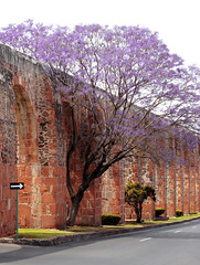 Jacaranda Tree | by Geninne