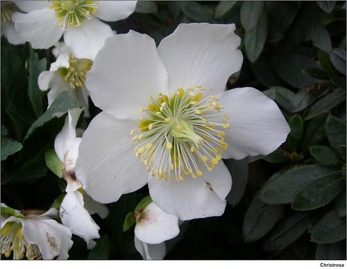 christrose helleborus niger christrose im botanischen te flickr. Black Bedroom Furniture Sets. Home Design Ideas