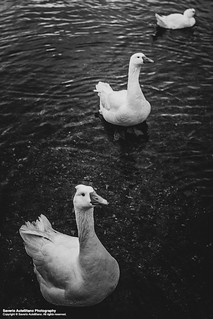 Huey, Dewey, and Louie. | by Saverio Autellitano Photography
