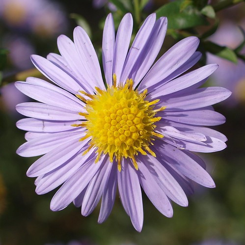 A close up of an Autumn Aster. | by Bienenwabe