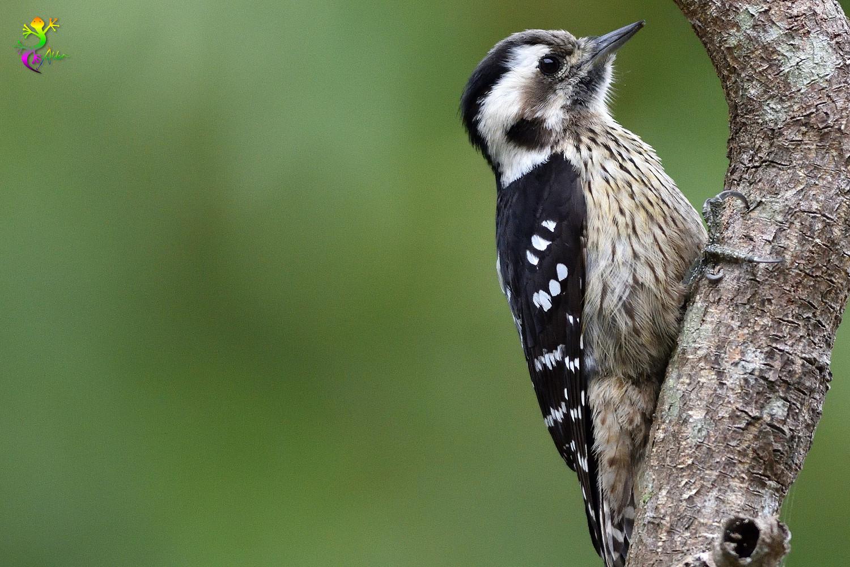 Grey-headed Pygmy Woodpecker_0531