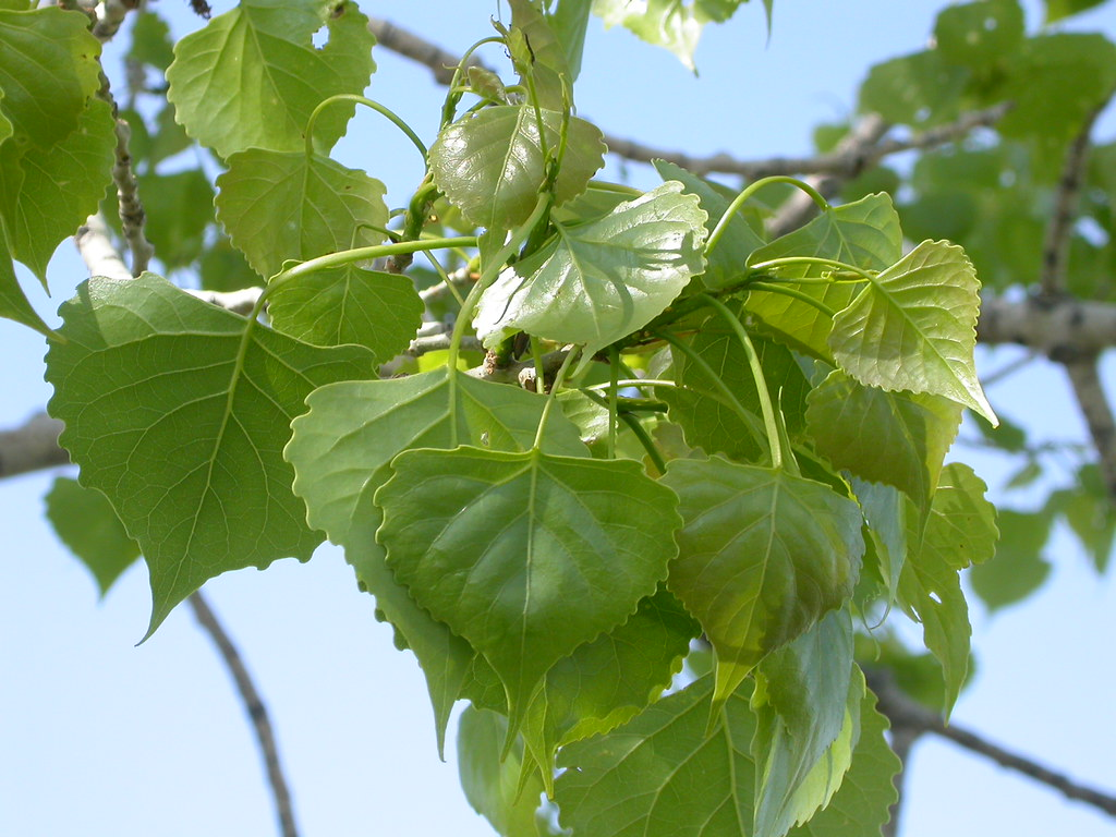 Populus deltoides   An occasional tree along streams but rec…   Flickr