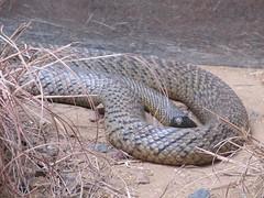 die giftigste schlange der welt fierce snake leoundfrank flickr. Black Bedroom Furniture Sets. Home Design Ideas