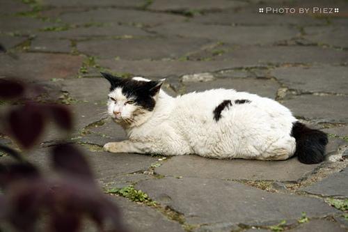 Unspayed female cat behavior