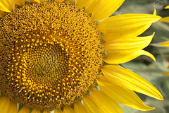 Sunflower! | by Mad Angled