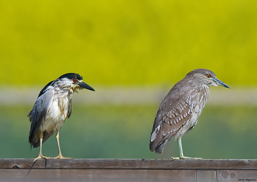 Black-crowned Night Heron (Adult & Juvenile) | by Jerry Ting