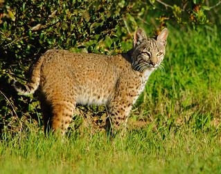 Bobcat | by Marc Briggs