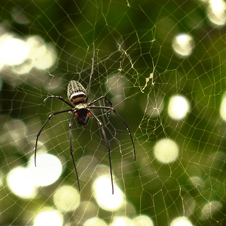 The golden orb web spider | by B℮n