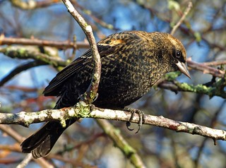Young Male Red-Winged Blackbird - Reifel Conservation, British Columbia | by Barra1man (Very, Very Busy)