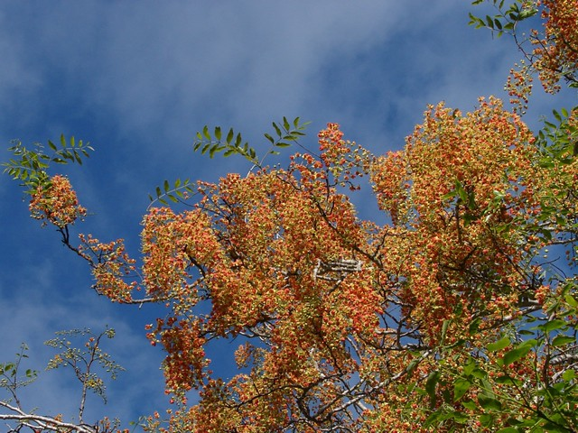 Brewsters Cassia flowering tree Up on the tree Cassia Flickr