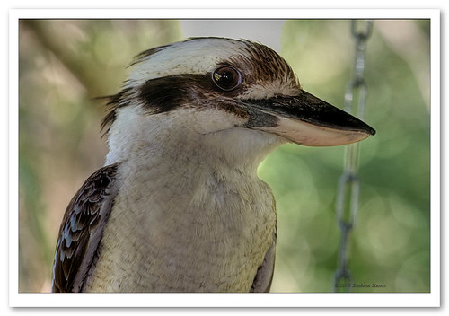 Laughing Kookaburra-7364 | by Barbara J H