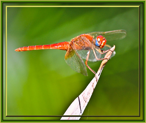 Dragonfly (2) | by davolly59