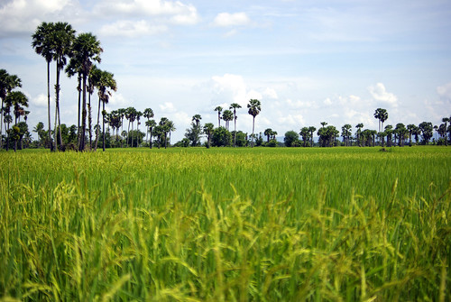 Rice Padies, Cambodia | by The Hungry Cyclist