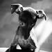 Sulan the Italian Greyhound