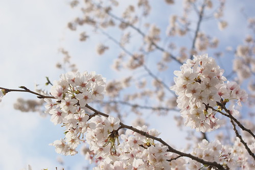 sakura | by Nixie+
