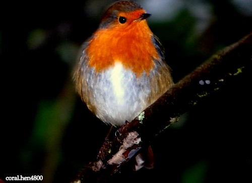 robin at night | by coral.hen4800
