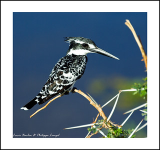 Pied Kingfisher - Amboseli National Park - Wildlife in Kenya | by Lucie et Philippe