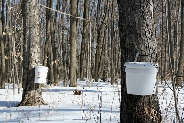 Where maple syrup comes from (0307) | The warm weather ...