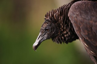 Black Vulture | by Dave 2x