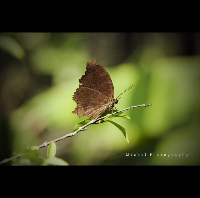 Dead Leaf Butterfly   Kallima, from the Greek word meaning b…   Flickr