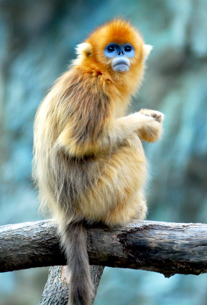 golden snub nosed monkey Moupin golden snub-nosed monkey, rhinopithecus roxellana roxellana qinling golden snub-nosed monkey, rhinopithecus roxellana qinlingensis hubei golden snub-nosed monkey, rhinopithecus roxellana hubeiensis.