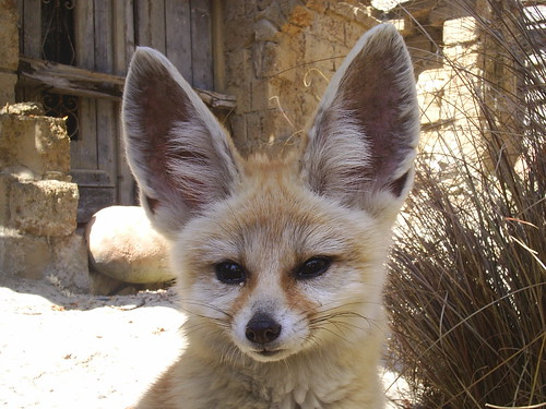 Fennec Fox Ears This Image Is In The Public Domain