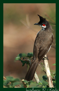Red-Whiskered BulBul | by Mohandoss