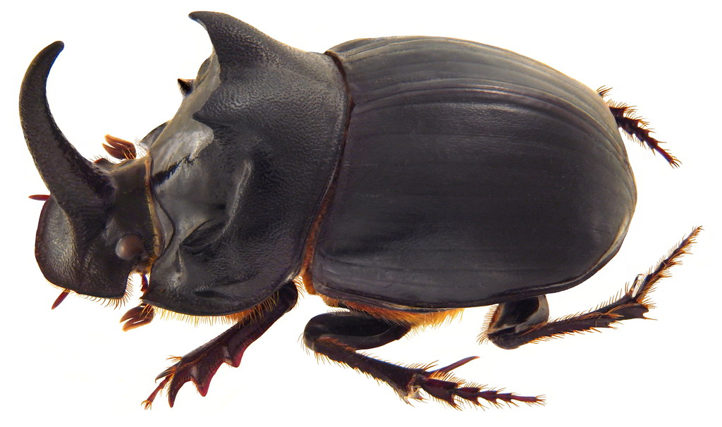 Copris Ochus Motschulsky 1860 Male Family Scarabaeidae