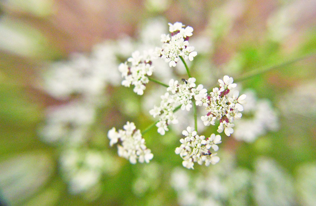 white weeds flower | phil pettit | Flickr