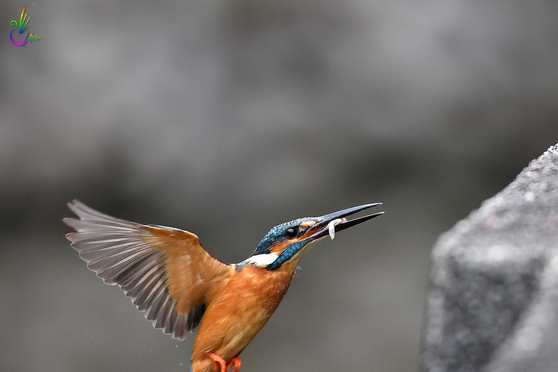 Common_Kingfisher_1029