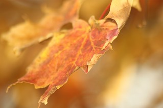 Fall Leaf | by jondejong