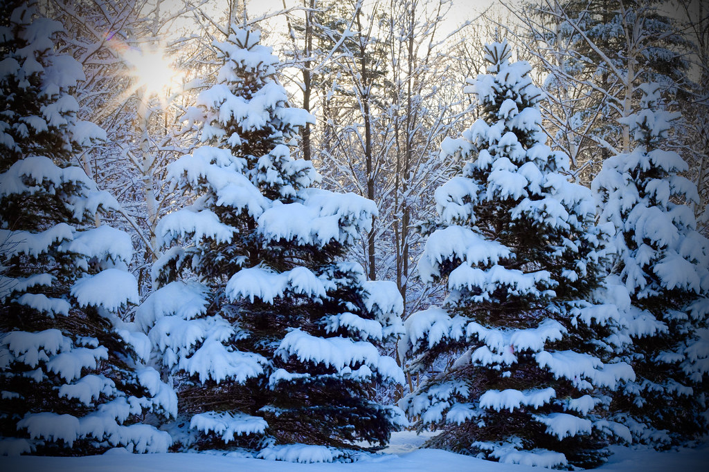 Snow on pine trees fresh snowfall on pine trees in new - Images of pine trees in snow ...