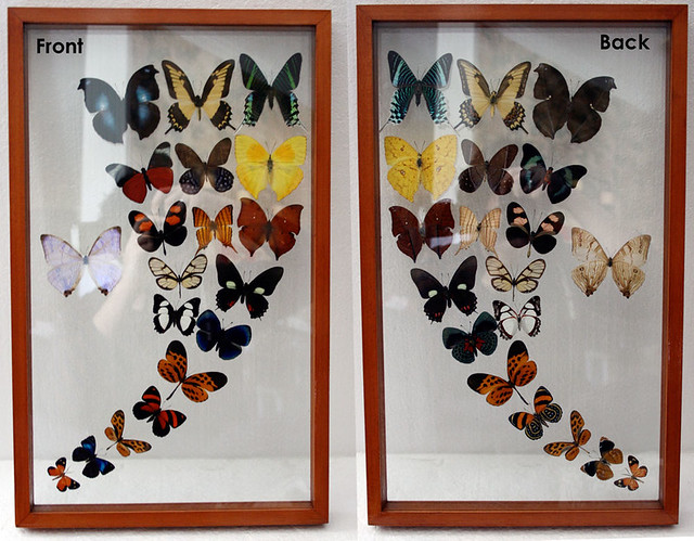 framed butterfly art with butterflies of the amazon jumbo waves by ben the butterfly guy