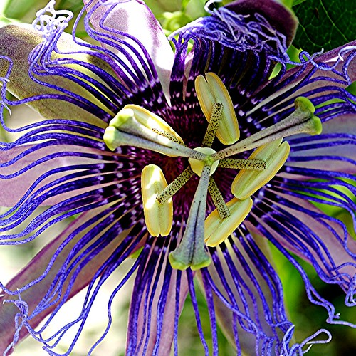 The curvaceous, undulating world of a Purple Passion Vine flower | by jungle mama