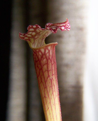 the teeth of the pitcher plant | by TheDamnMushroom