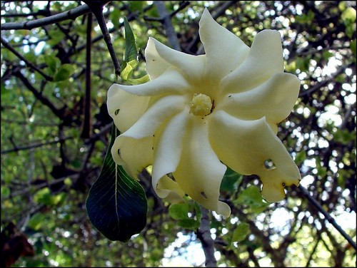 Gardenia spatulifolia flower | by Tatters ❀