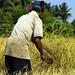 Rice Harvest, Cambodia
