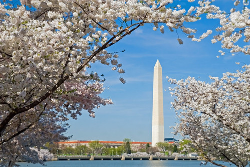 Washington monument and cherry blossoms.  IMG_9876-1.jpg | by David Freuthal