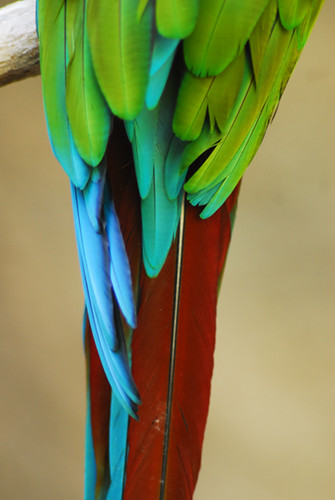 parrot tail | Maury Sc...