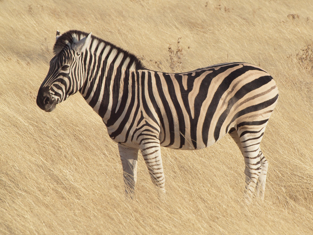 Awesome zebra picture