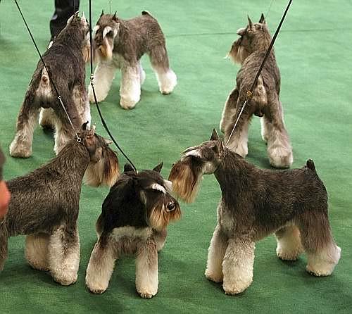 Miniature Schnauzer Show Dog