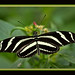 Zebra Long- Wing
