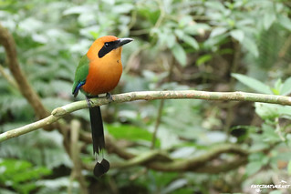 Rufous Motmot | by brick911