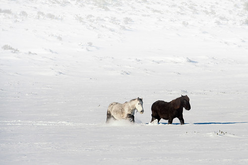 Horses in the Snow | by @fran