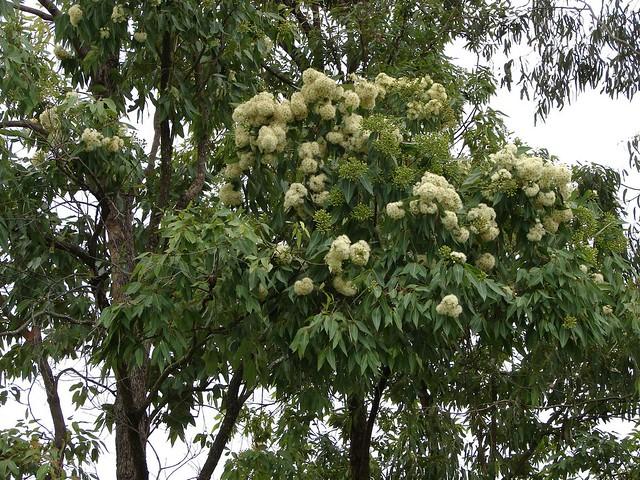 Flowering gum tree (Corymbia trachyphloia) | ID is ...