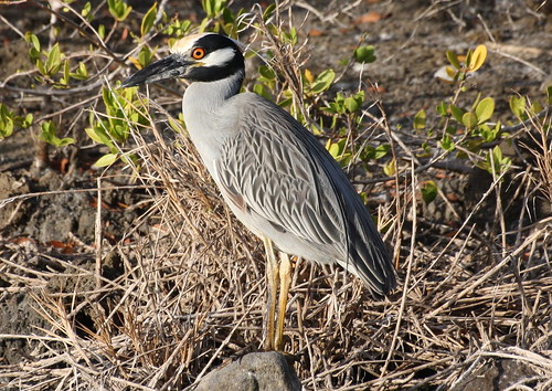 Yellow-crowned Night Heron | by mostevens